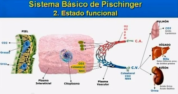 sistema-basico-de-pischinger-estado-funcional